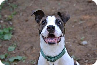 Staffordshire Bull Terrier/Boxer Mix Dog for adoption in Broadway, New Jersey - Buster