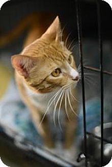 American Shorthair Cat for adoption in New Orleans, Louisiana - Gabriel