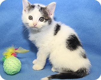 Domestic Shorthair Kitten for adoption in Marietta, Ohio - Stan