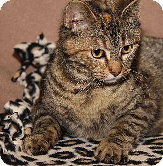 Domestic Shorthair Cat for adoption in Marietta, Ohio - Piper (Spayed)
