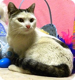 Domestic Shorthair Cat for adoption in Columbus, Nebraska - Clara