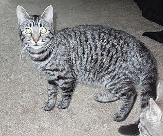 Domestic Shorthair Cat for adoption in Burgaw, North Carolina - Sarah