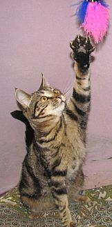 Domestic Shorthair Cat for adoption in Fort Walton Beach, Florida - Jill