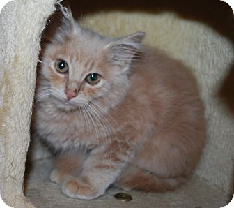 Domestic Mediumhair Kitten for adoption in Council Bluffs, Iowa - Theo
