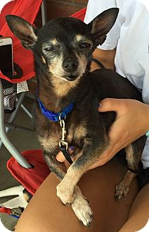 Chihuahua Mix Dog for adoption in Loudonville, New York - Eunice