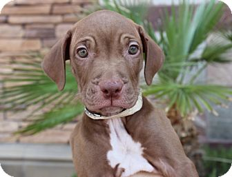 Labrador Retriever/Mastiff Mix Puppy for adoption in Las Vegas, Nevada - ESPRESSO