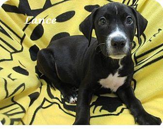 Labrador Retriever Mix Puppy for adoption in Bartonsville, Pennsylvania - Lance