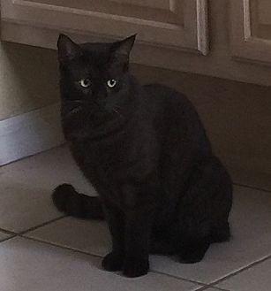 Havana Brown Cat for adoption in Oviedo, Florida - Godiva