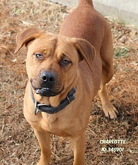 Hound (Unknown Type) Mix Dog for adoption in Camden, Delaware - Charlotte