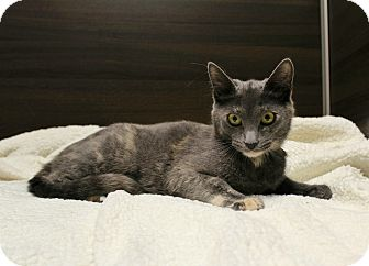 Domestic Shorthair Cat for adoption in Wayne, New Jersey - Fallon