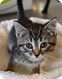 Domestic Shorthair Kitten for adoption in Michigan City, Indiana - Tabby MEw