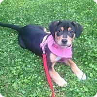Adopt A Pet :: Marcie - Baltimore, MD
