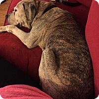 Boxer/Cane Corso Mix Dog for adoption in Franklinville, New Jersey - Molly