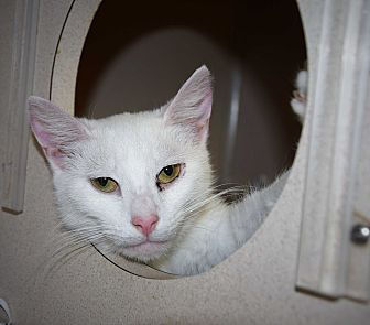 Domestic Mediumhair Cat for adoption in Pottsville, Pennsylvania - Fantasy