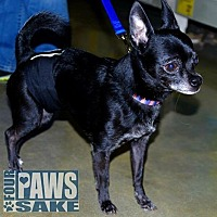 Chihuahua Mix Dog for adoption in Maryville, Illinois - Charlie
