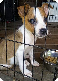 Jack Russell Terrier Mix Puppy for adoption in Old Bridge, New Jersey - Lance