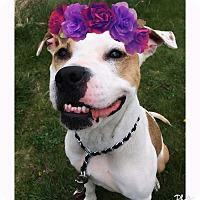 Adopt A Pet :: Roxy - Piqua, OH
