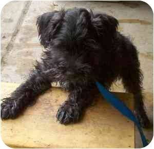 Miniature Schnauzer/Scottie, Scottish Terrier Mix Puppy for adoption in Portsmouth, Rhode Island - Scooter