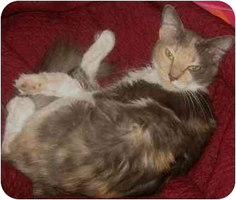 Domestic Mediumhair Cat for adoption in Chicago, Illinois - Foxy