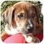 Photo 1 - Labrador Retriever/German Shepherd Dog Mix Puppy for adoption in El Segundo, California - Lu