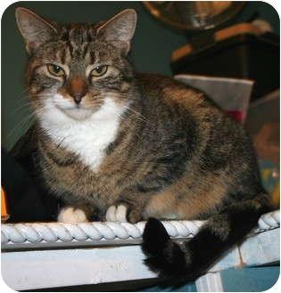Domestic Shorthair Cat for adoption in Salamanca, New York - Gina-SPONSORED!  NO FEE!