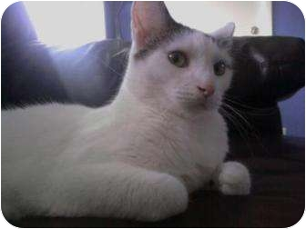 Domestic Shorthair Cat for adoption in Sterling Heights, Michigan - Woodstock - hold