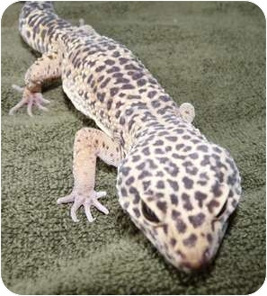 Gecko for adoption in Richmond, British Columbia - Louie