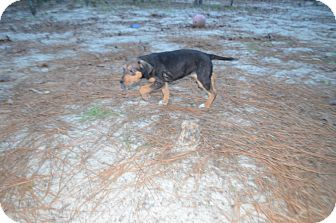 German Shepherd Dog/Hound (Unknown Type) Mix Puppy for adoption in Weeki Wachee, Florida - Gina