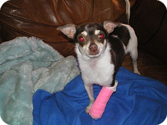 Chihuahua Puppy for adoption in Apex, North Carolina - Peggy Roo