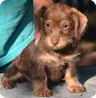 Dachshund/Poodle (Miniature) Mix Puppy for adoption in Allentown, Pennsylvania - Coco