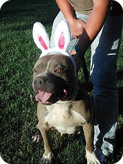 Pit Bull Terrier/Neapolitan Mastiff Mix Dog for adoption in Valley Springs, California - Ferguson the cuddly blockhead