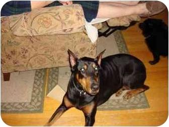 Doberman Pinscher Dog for adoption in Arlington, Virginia - Ginger