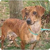 Adopt A Pet :: Sassy - Windham, NH