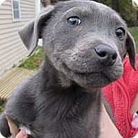 Adopt A Pet :: Blue - South Jersey, NJ
