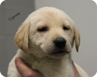 Labrador Retriever Mix Puppy for adoption in Hibbing, Minnesota - CYPRESS