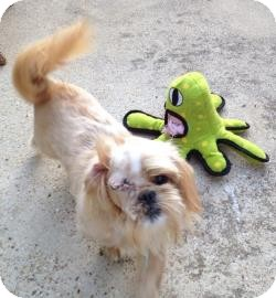 Shih Tzu Dog for adoption in Benbrook, Texas - Poe