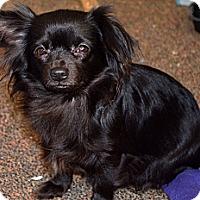Adopt A Pet :: Raven - Westfield, IN