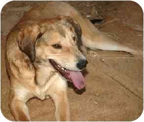Retriever (Unknown Type)/Hound (Unknown Type) Mix Dog for adoption in Alfred, Maine - Blake