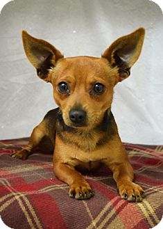 Chihuahua Mix Dog for adoption in Dublin, California - Copper