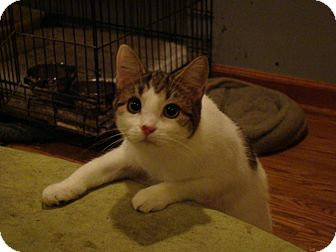 Domestic Shorthair Cat for adoption in Muncie, Indiana - Sierra
