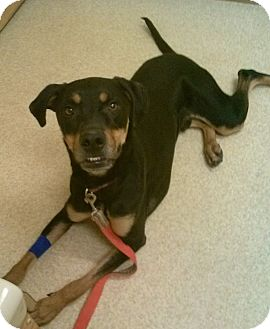 Doberman Pinscher Mix Dog for adoption in Oberlin, Ohio - Darby