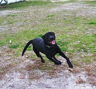 Labrador Retriever Mix Dog for adoption in Smithfield, North Carolina - Joey