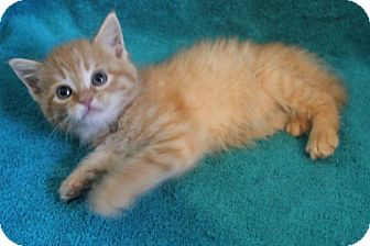 Domestic Mediumhair Kitten for adoption in Colonial Heights, Virginia - Tamale