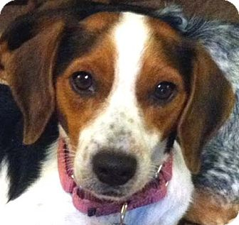 Beagle Mix Dog for adoption in Houston, Texas - Dilly