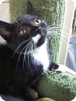 Domestic Shorthair Kitten for adoption in Trevose, Pennsylvania - Trinket