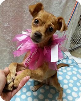 Terrier (Unknown Type, Small)/Chihuahua Mix Dog for adoption in Pluckemin, New Jersey - Delaney