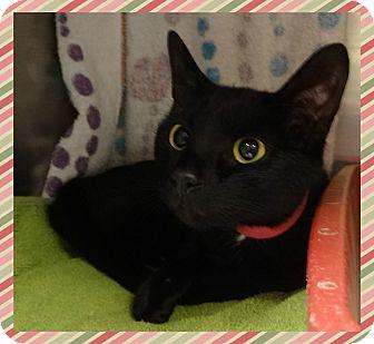 Domestic Shorthair Cat for adoption in Marietta, Georgia - SPOT