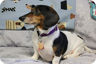Dachshund Mix Dog for adoption in New Richmond,, Wisconsin - Chester