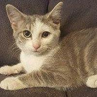 Domestic Shorthair Cat for adoption in Hampton, Virginia - EMERALD