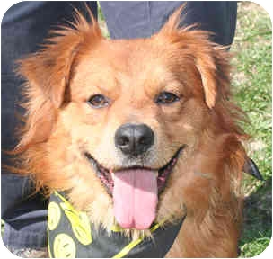 Labrador Retriever/Chow Chow Mix Dog for adoption in Cincinnati, Ohio - Kanye